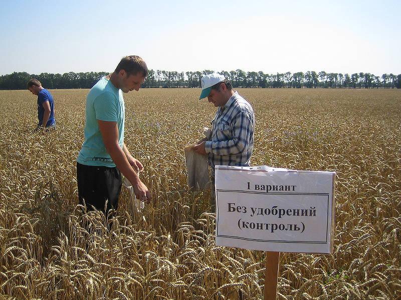Сотрудники отдела применения удобрений и опытов проводят биологический учёт урожая на мелкоделяночном опыте
