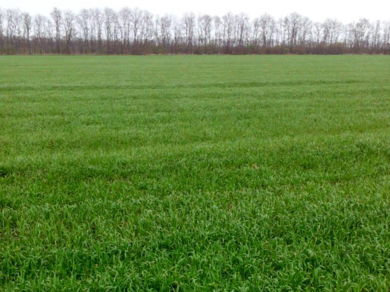 Наблюдение за состоянием посевов озимой пшеницы