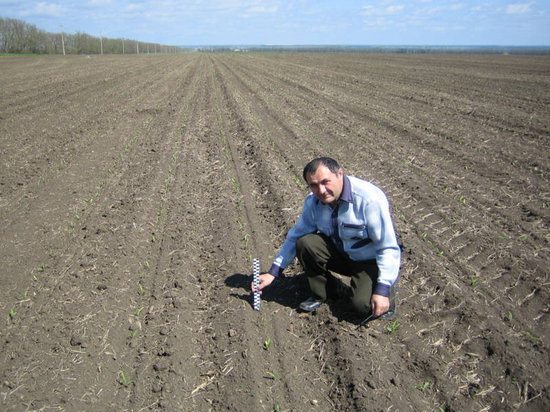 Главный агрохимик отдела применения удобрений и опытов Давыдов В.Е. замеряет высоту растений