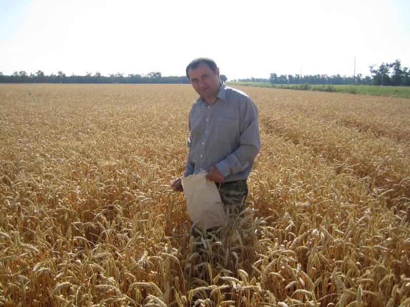 Главный агрохимик отдела применения удобрений и опытов Давыдов В.Е. отбирает образцы озимой пшеницы для прогноза урожайности