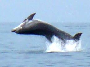 Дельфин в море