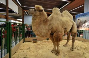 В астраханском павильоне гостей выставки встречал двугорбый верблюд-рекордсмен