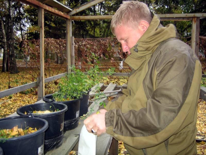 Агрохимик II категории Фильчев М.И. скашивает растения люцерны