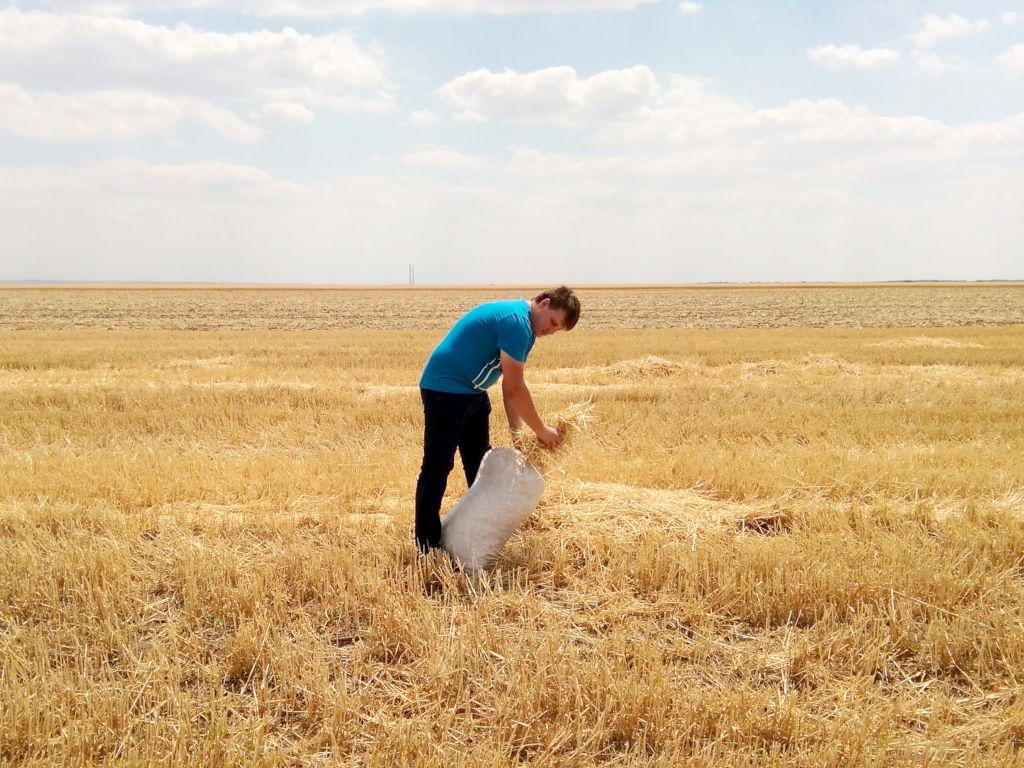 Фото. Отбор пробы побочной растительной продукции (соломы) озимой пшеницы на реперном участке