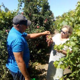 Дегустация винограда. Питомник семьи Горлатовых