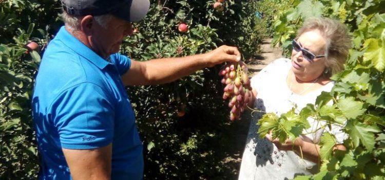 В виноградном питомнике семьи Горлатовых, станица Расшеватская Новоалександровский район