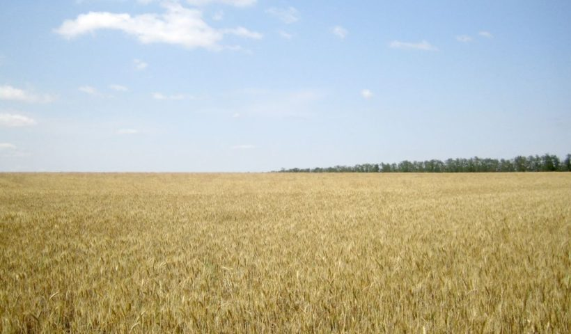 Озимая пшеница. 22 июня 2020 г. Ипатовский район