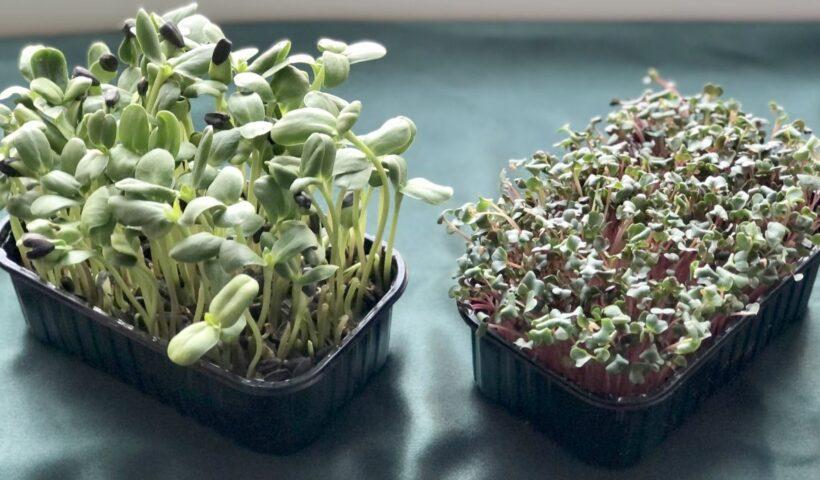 Микрозелень подсолнечника и редиса