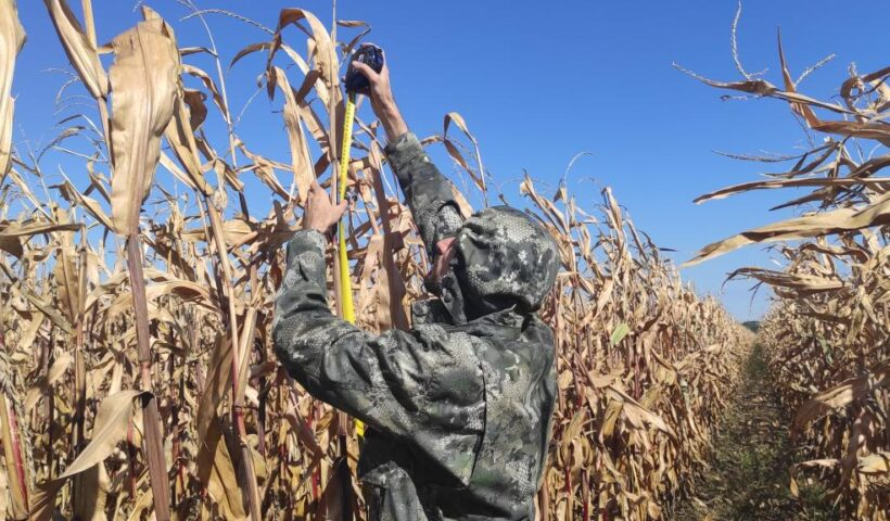 Замер высоты растений кукурузы на полях СПК «Дубовский» Шпаковского округа
