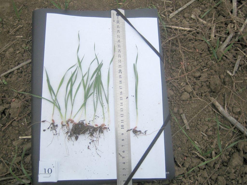 Замер средней высоты растений